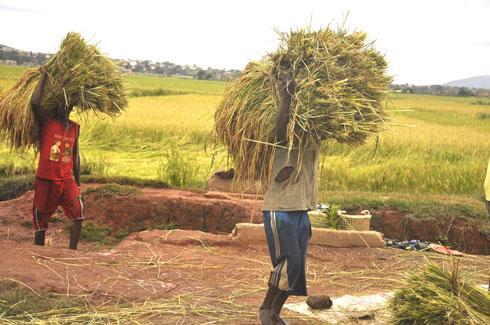 Agriculture : 20 000 tonnes de semences de riz certifiées