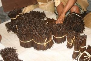 La vanille malgache affiche cette année une très bonne qualité.
