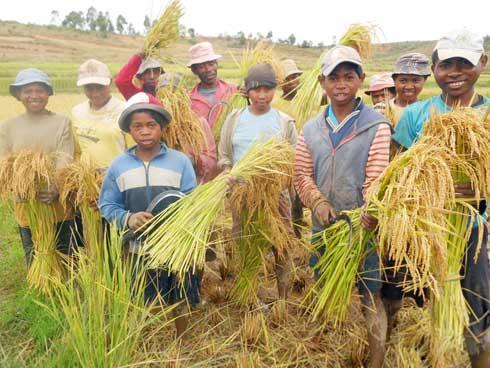 Agriculture biologique : Jusqu'à 14t de riz à l'hectare dans la Commune Antambolo